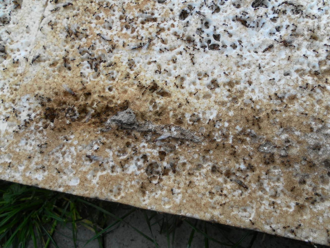 Top Weg Ameisen bekämpfen - Ameisenbekämpfung durch Schädlingsbekämpfer @HO_24