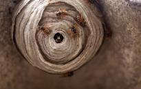 Wespenumsiedlung vom Kammerjäger
