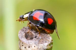 Asiatischer Marienkäfer bekämpfen durch Kammerjäger