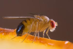 Fruchtfliege bekämpfen durch Kammerjäger
